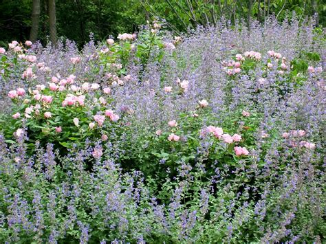 what to plant with roses talking to plants rose companion plants