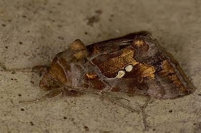 Chalcites Chrysodeixis Esper Noctuidae 1789 Battaglia Nervesa