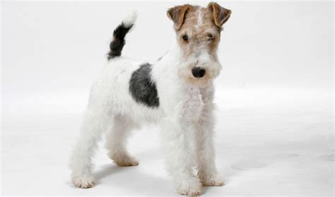 What Dogs Do Not Shed Hair by Smooth And Wire Fox Terrier Breed Information