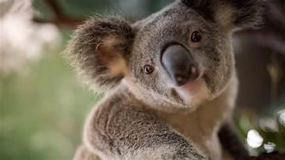Koala Animal 4k Wallpapers 1080 Ultra Resolutions
