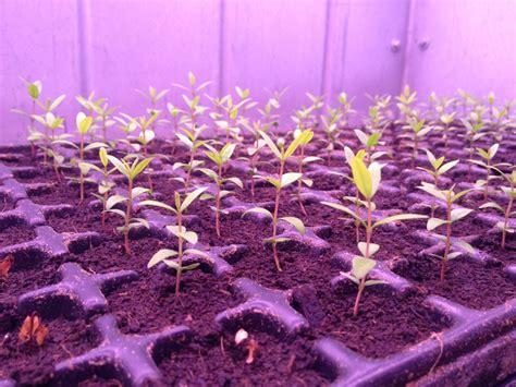grow light seedlings fluorescent vs led light for tree seedling cultivation valoya led grow lights