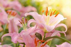 Fleur De Lys Plante : fleur de lys signification des fleurs ~ Melissatoandfro.com Idées de Décoration