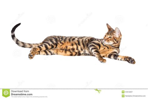 Cat breed toyger stock image. Image of teen, lying ...