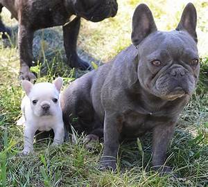 Micro Teacup French Bulldog Full Grown | www.pixshark.com ...