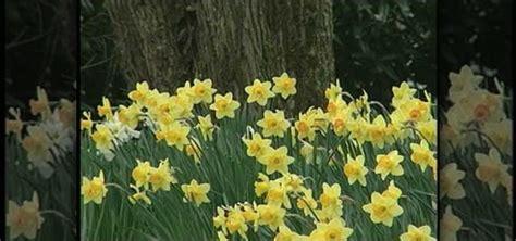 how to plant daffodil bulbs 171 gardening