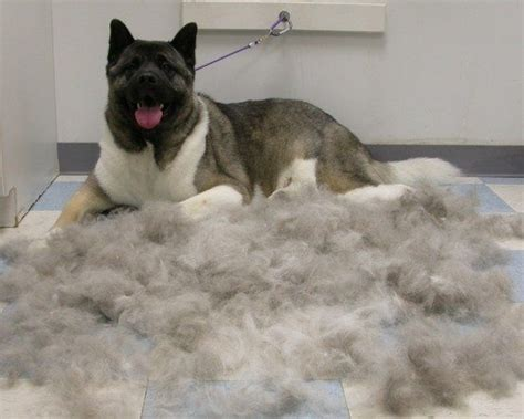Do Akitas Shed Hair by How Coated Owners Deal With Coat