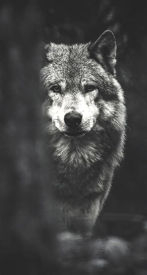 Wolf Wallpaper Phone Hd by Fondos De Pantalla De Lobos Hd Fondos De Pantalla