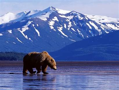 Alaska Bear Grizzly Wildlife Background Wallpapers Bears