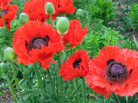 pics of poppy plants 301 moved permanently