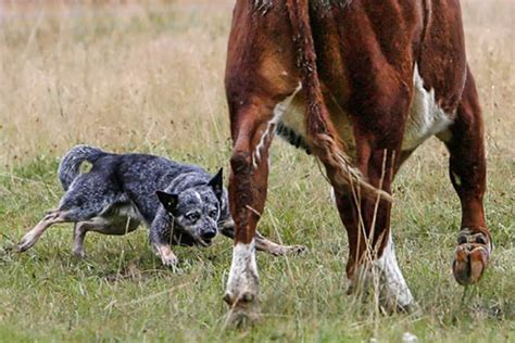 helsies happenings australian working dogs part  koolies