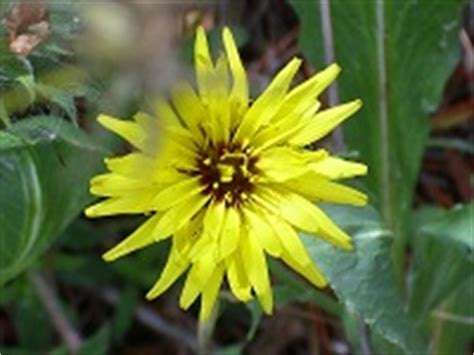 Gartenschwarzwurzel (scorzonera Hispanica) Pflanzen
