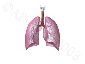Animation Lungs and Respiratory