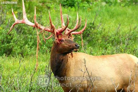 Bull Moose Shedding Antlers by Bull Elk Shedding Velvet Antlers 2 Stock Photo