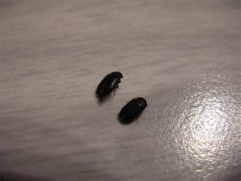6 Small Black Beetle Like Bug In Beetles Biological