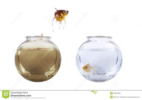 how to clean a fish bowl fish jumping from his polluted bowl royalty free stock photo image 35944235