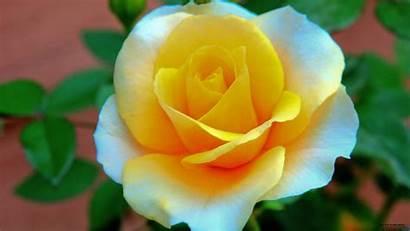 Flower Flowers Wallpapers 1080p Rose Desktop Designs