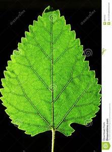 Single Green Leaf Stock Photography - Image: 2937012