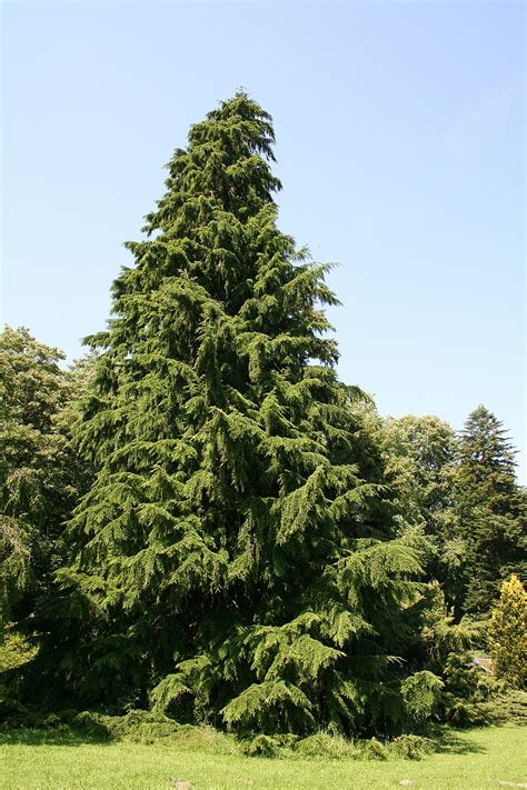 hemlock trees tsuga hemlock tree