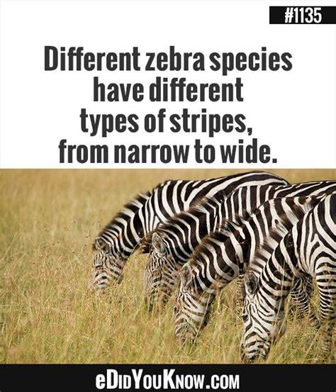 eDidYouKnow com Different zebra species have different