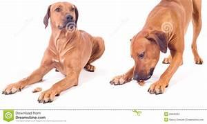 Rhodesian Ridgeback Male Dog, Obiedent Stock Photos ...