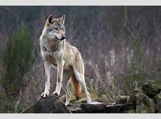 AlphaWolf Other & Animals Background Wallpapers on