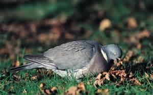 wood pigeon bullies invading  gardens  record