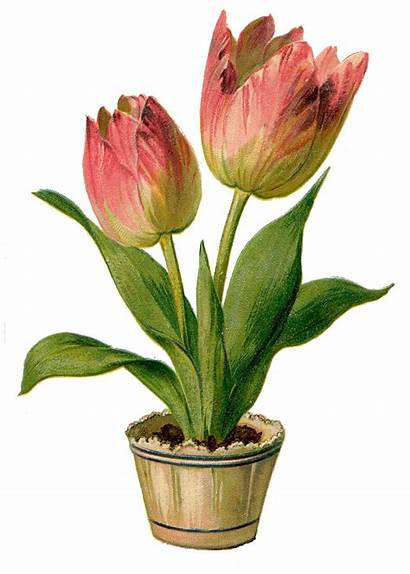 Tulips Pink Clip Clipart Pretty Fairy Tulip