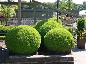 Buchsbaum Kugel Schneiden : buchsbaum kugel buxus sempervirens kugel baumschule ~ Lizthompson.info Haus und Dekorationen
