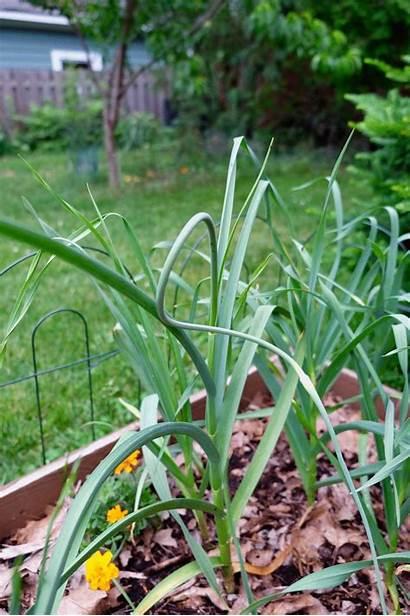 Garlic Revamped Csa Recipe Onion Artichoke Pesto