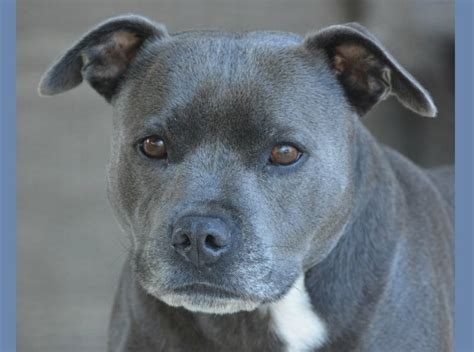 pitbull puppy training tips  blue nose pit dogvills
