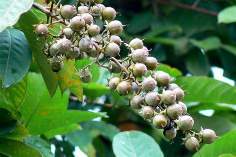 banaba lagerstroemia speciosa carica herbal health