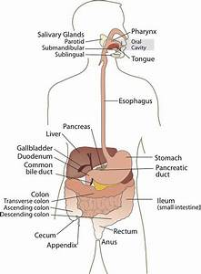 Digestive System Diagram Labeled For Kids