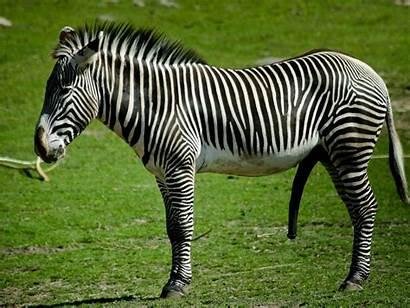 Zebra Wallpapers Animal Wall Borders Designer Patterns