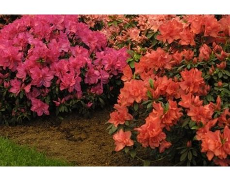 how fast do azaleas grow 17 best images about the garden on pinterest blue fruits different types of and shrubs