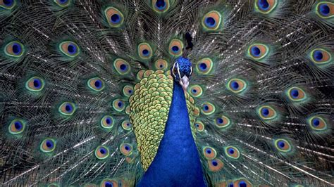 image bureau windows fond d 39 écran hd paon bleu oiseau roue image bureau