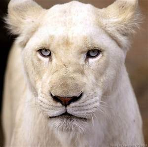 White Lion Facts and Digital StoryBoard | White Lion Blog