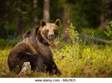Aggressive Looking Bear in Forest