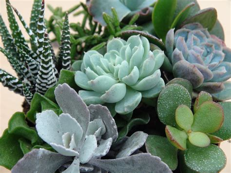 succulent photos buy plants online canadian hardy succulents