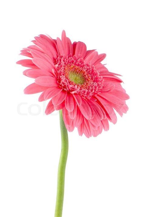 pink gerbera daisy flower stock photo colourbox