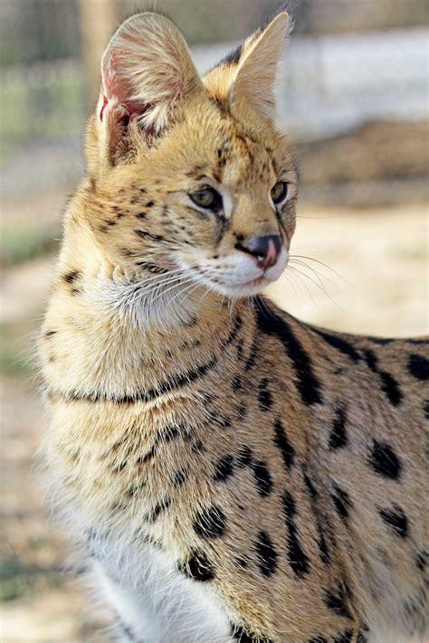 serval diet carnivore savannah lifespan wild