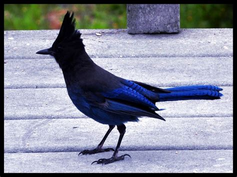 blue jay  camano island washington bird watching animals feathered friends blue seeds