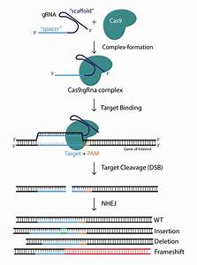 Crispr  Cas9 Aav And Adenovirus Product Catalog  U2013 Vector