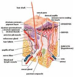 How To Remove Odor From Basement by Integumentary System New World Encyclopedia