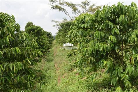 Get free coffee plantations now and use coffee plantations immediately to get % off or $ off or free shipping. COFFEE PLANTATION FOR SALE MITYANA - Spectrum Real Estate Solutions