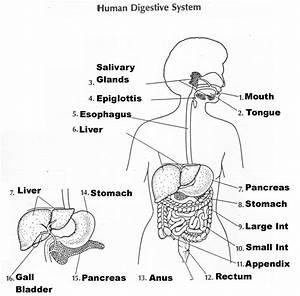Fetal Pig Digestive System Diagram  U2014 Untpikapps