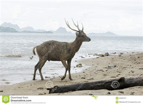timor  rusa deer cervus timorensis royalty  stock