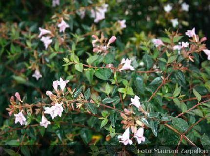 arbusti da fiore sempreverdi abelia arbusti della famiglia delle caprifoliaceae