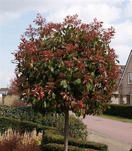 Photinia Red Robin : photinia fraseri 39 red robin 39 glansmispel bolvorm ~ Michelbontemps.com Haus und Dekorationen