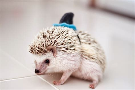 pet hedgehog 15 of the weirdest pets that you can actually own in the uk the house shop blog