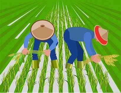 Rice Field Paddy Harvest Farmers Vector Illustration